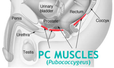 Kegels Exercises Focus On The PC Muscles (Pubococcygeus)